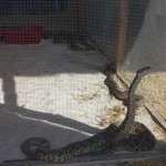 rattle-snake-roundup-05