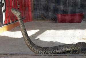 Rattlesnake Round-up